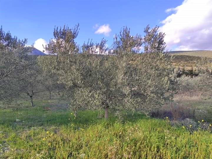 """""""Goritses"""" Olive Grove"""