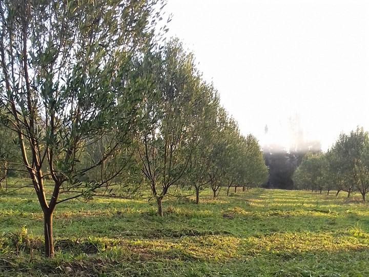 lekanes-olivetree