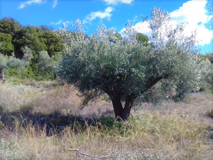 """Zarkadi"" Olive Grove"